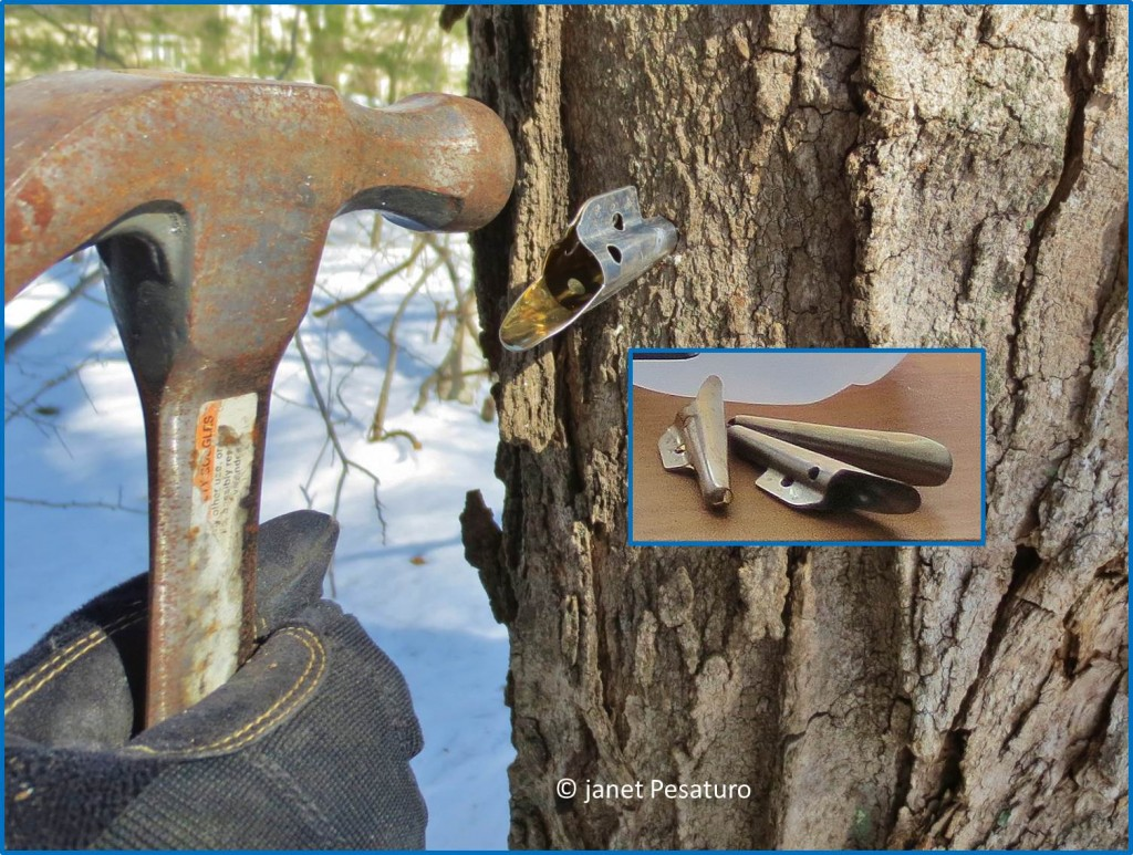 Inserting sap collection spout into a sugar maple