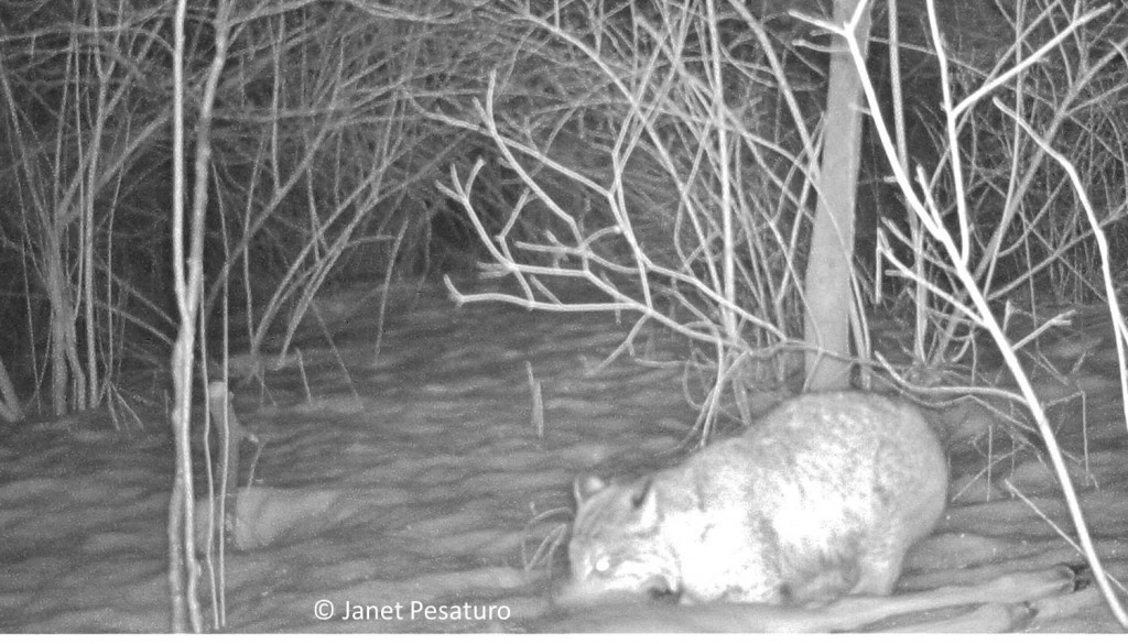 Bobcat scavenging deer begins to eat at the large, choice muscles of the rump and thigh.