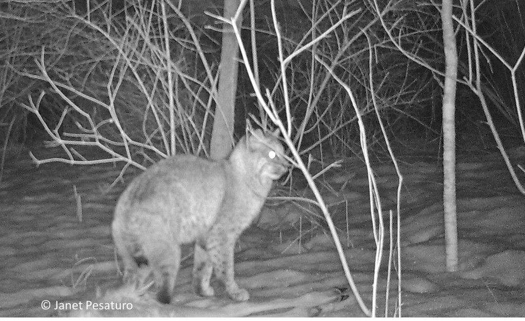 Bobcat pauses anxiously at the deer carcass.