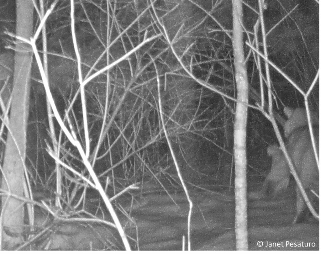 On the right, a bobcat walks away from the camera. I think he is carrying a rabbit. Do you agree?