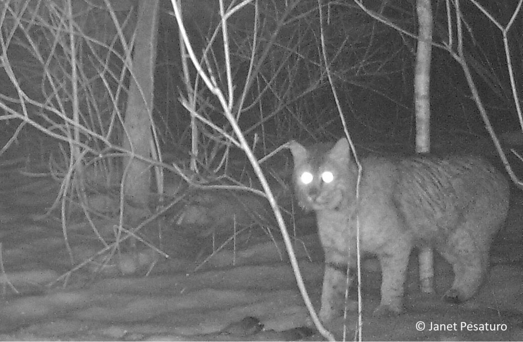 Bobcat photographed by trail camera in east-central MA