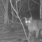 Bobcat as scavenger