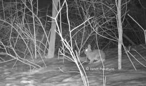 A favorite on the bobcat's menu, cottontail rabbits are abundant at the site of my baited camera trap.