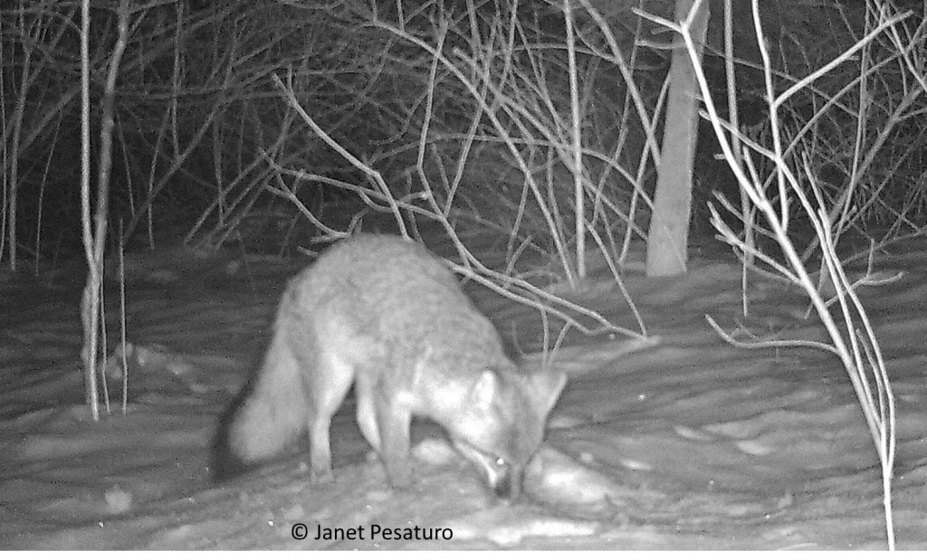 Gray fox returns for more digging, hoping to reach dinner.