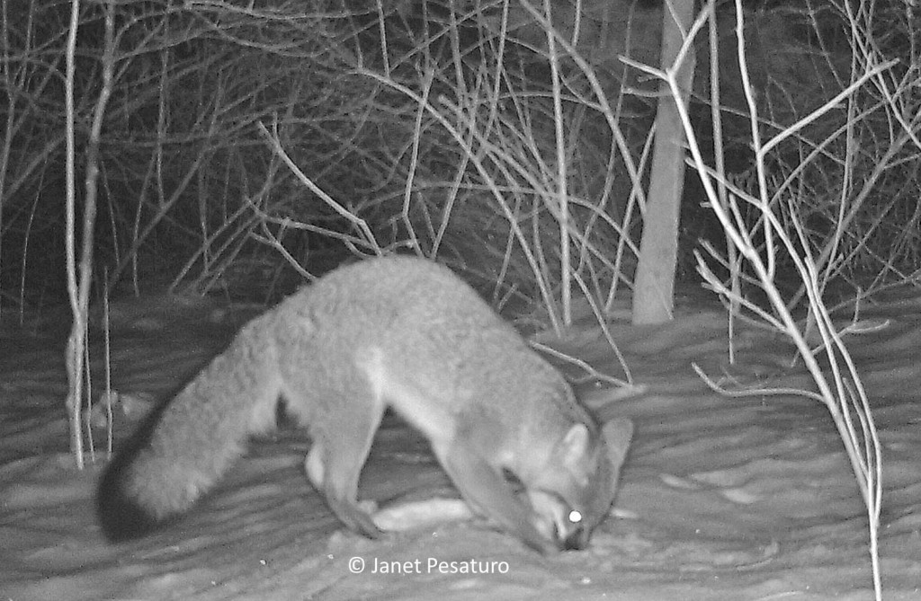 The gray fox caught by camera trap, when it first noticed that something edible was under the snow