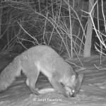 Gray fox with black tipped tail and pale legs and feet.