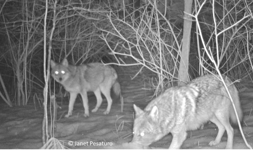 These two eastern coyotes visiting the deer carcass, often looked suspiciously at the camera.