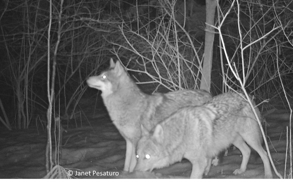 Beautiful pair of eastern coyotes. When together at the deer carcass, one seemed to stay on watch while the other ate.