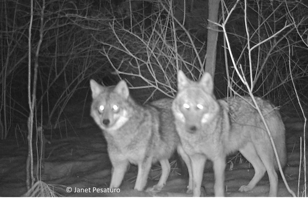 Appreciating the eastern coyote. These two coyotoes were among the cast of characters who visited my baited camera trap.
