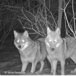 A coyote couple at a camera trap baited with a road killed deer