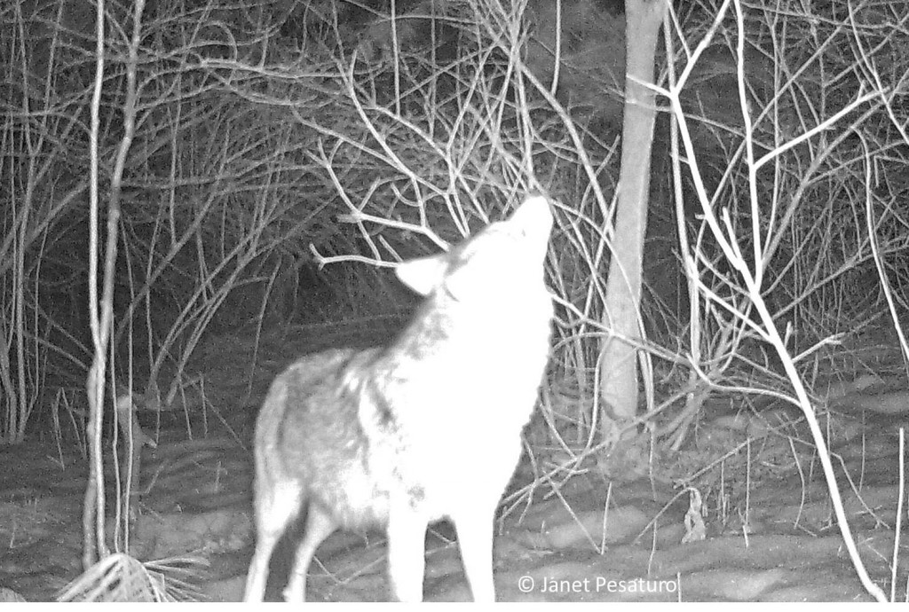 I've read that coyotes do not howl to call each other to share food, but photos from my trail camera suggest otherwise. Sometimes when only one showed up, it appeared to howl or bark. I'm not sure why it would vocalize before eating, if not to call its mate.