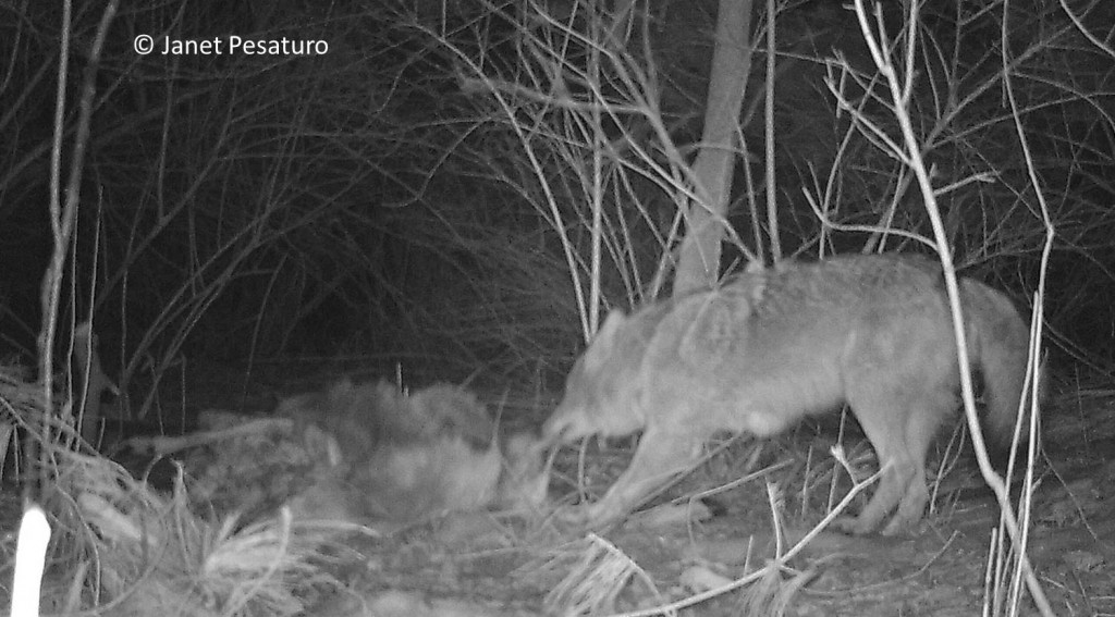 The deer carcass was frozen to the ground for days, but here the persistent canid finally succeeded in dragging it to a secluded spot, about 20 feet away. I then moved the camera to the new site of the carcass, but the coyotes dragged it away again.