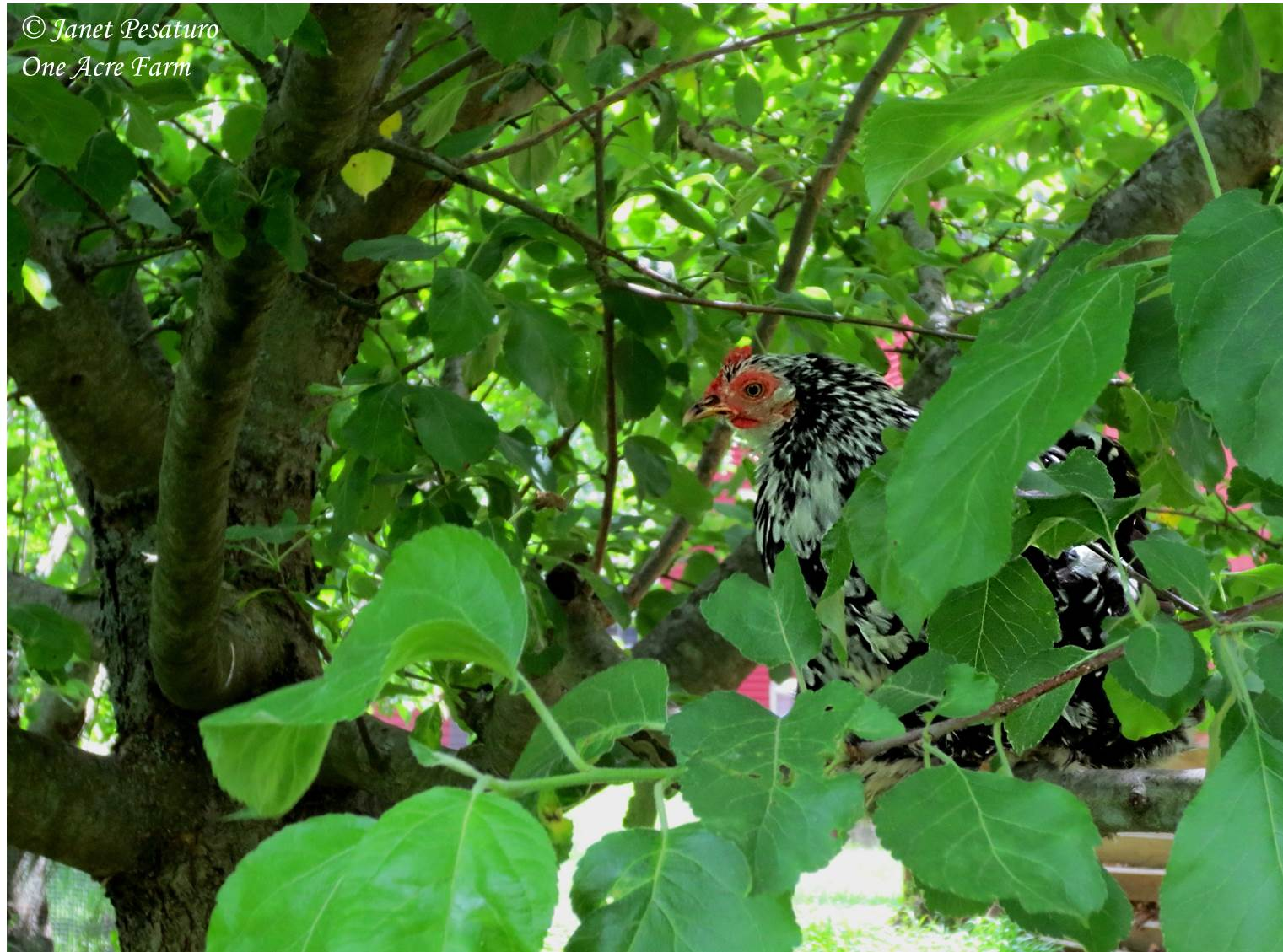 creating a chicken habitat with tips from jungle fowl