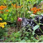Mottled cochin hen enjoying flowers, herbs, and weeds