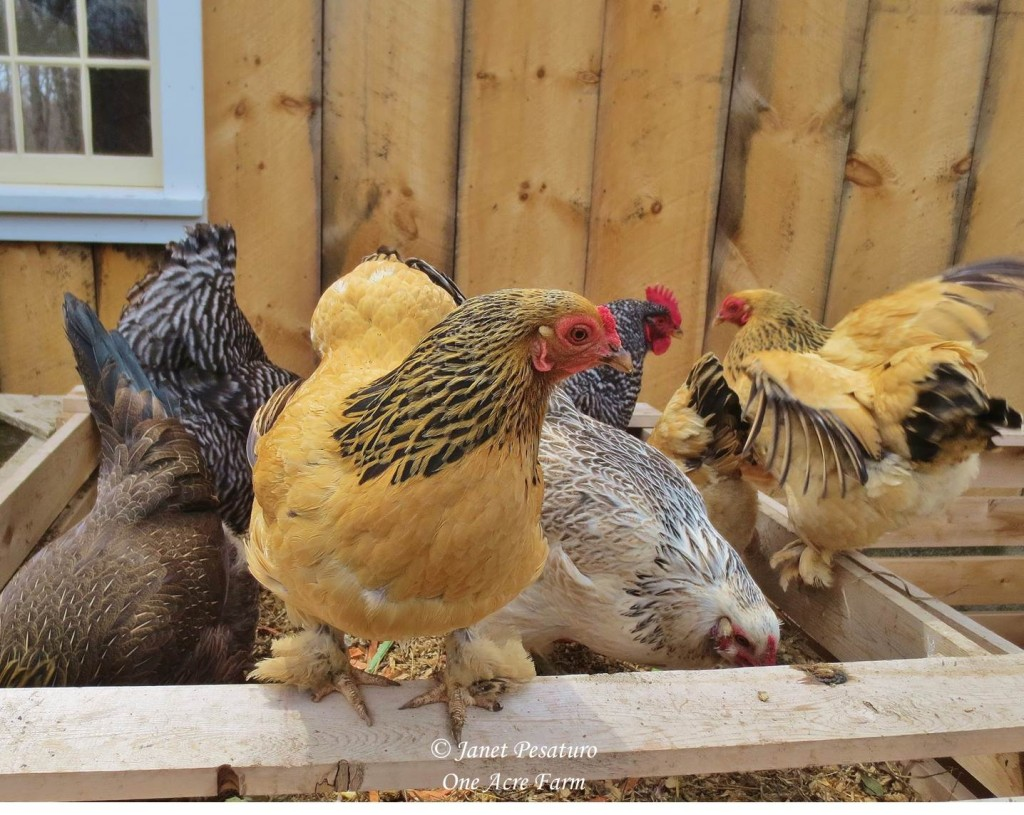 Our compost bins are in the chicken yard, and it's always a popular foraging spot.