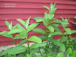Common milkweed in late May, not yet blooming.
