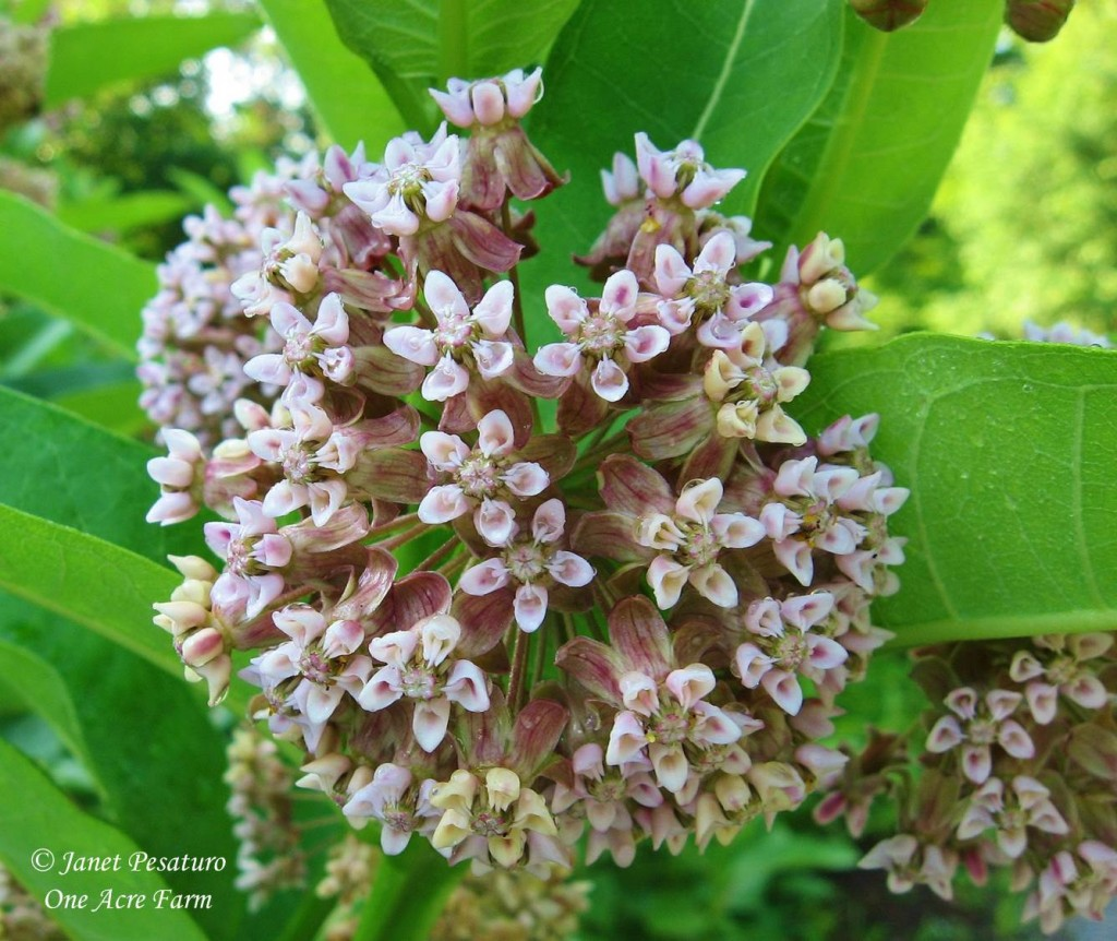 Flower cluster of common milkweed, Asclepias syriaca