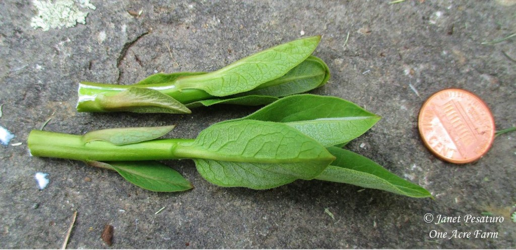Shoots of common milkweed, Asclepias syriaca