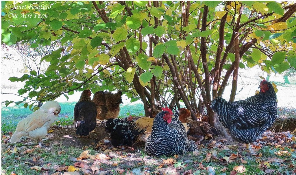 Our flock enjoys an afternoon siesta under a hazelnut bush.