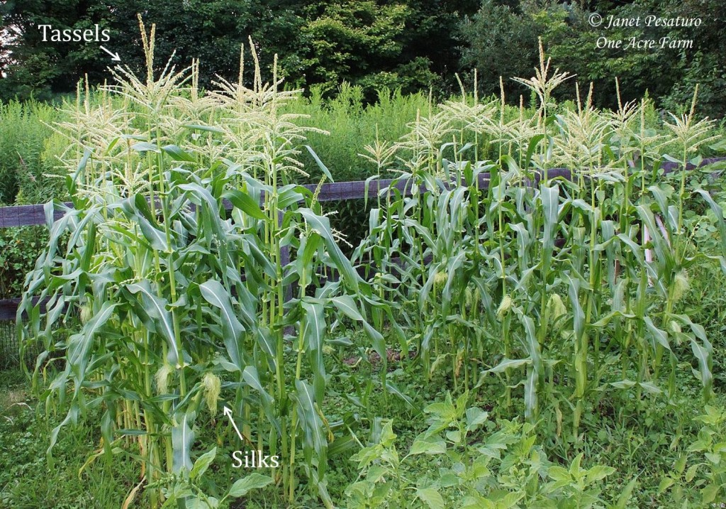 6 Tips for Growing Corn in Small Spaces. Block planting, as in this photo, illustrates one of these tips.