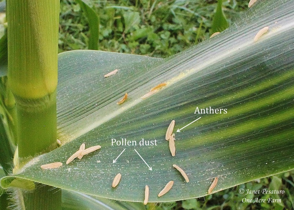 6 Tips for Growing Corn in Small Spaces. Understanding corn pollination is part of it. This photo shows the anthers and pollen grains.