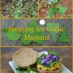 Foraging garlic mustard. Where to find it, and how to identify, harvest, and eat it.