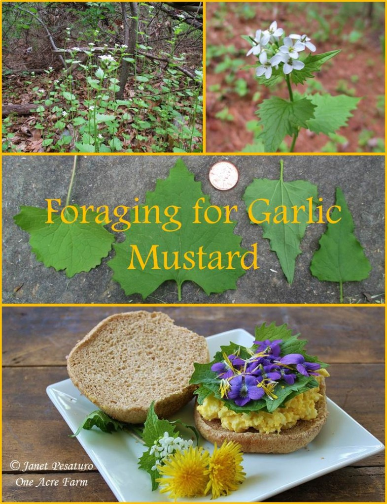 Foraging for Garlic Mustard. How to identify it, where to find it, and how to harvest this abundant wild edible plant.