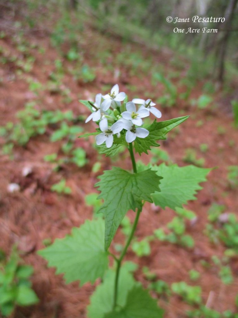 Foraging for Garlic Mustard. Photo shows the 4-petaled, tiny white flowers atop this wild edible plant.
