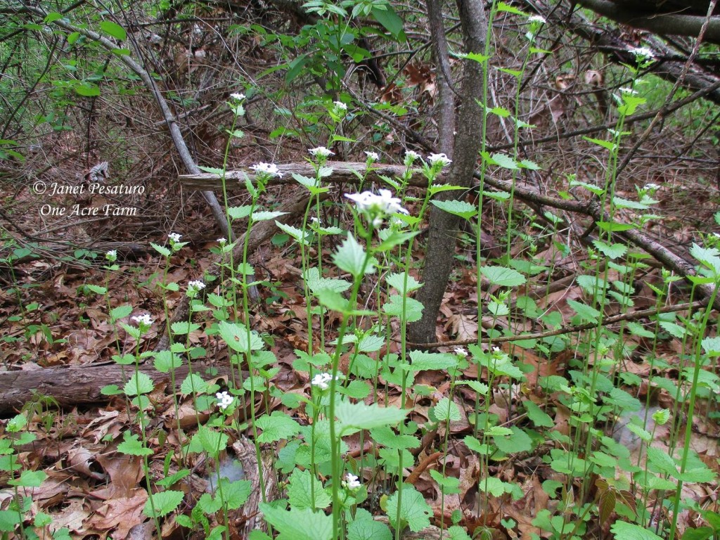 Foraging Garlic Mustard. Photo shows a typical patch of this delicate looking plant topped with tiny white flowers.