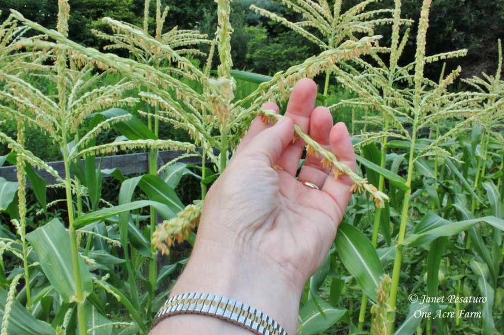 6 Tips for Growing Corn in Small Spaces. Hand pollinating is easy, and helps develop ears of corn full of plump kernels.
