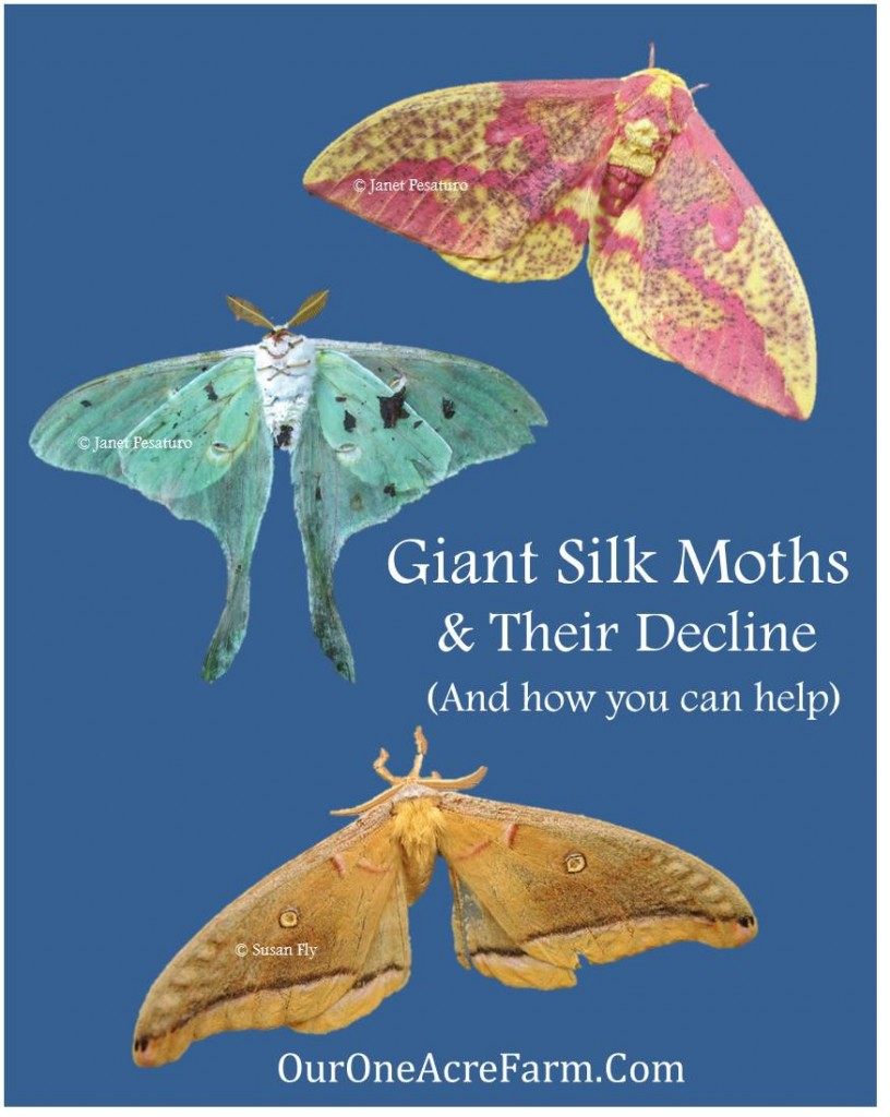 Giant Silk Moths and their Decline