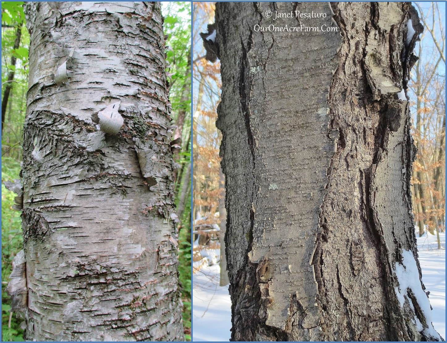Landscaping With Paper Birch Trees : Trees for a wildlife friendly edible landsape