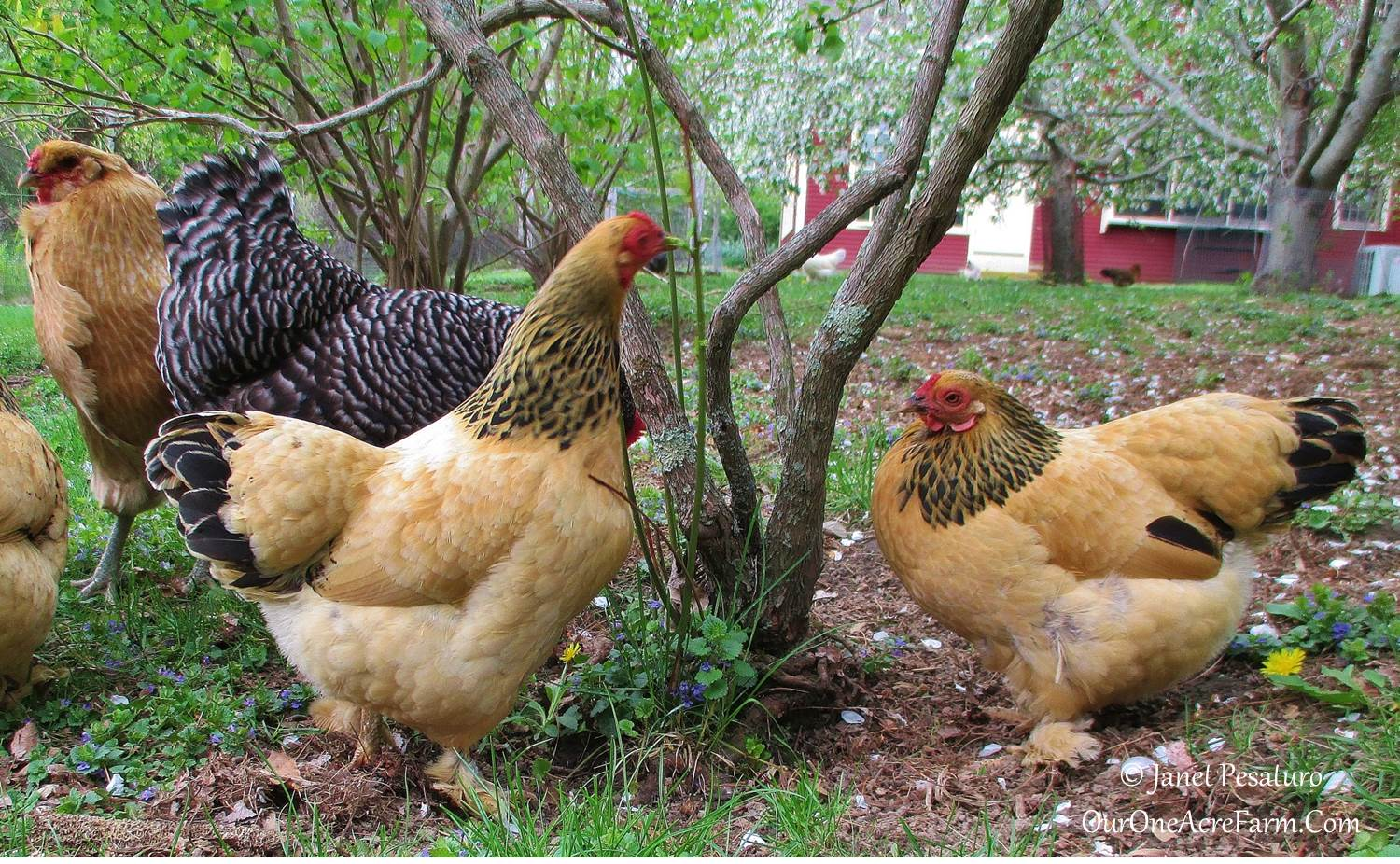 benefits of a mixed flock of backyard chickens