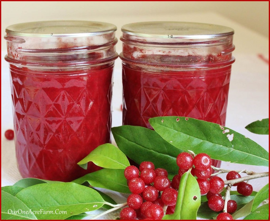 Autumn olive jam, made from a foraged edible wild plant