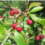 Foraging Aronia Berries