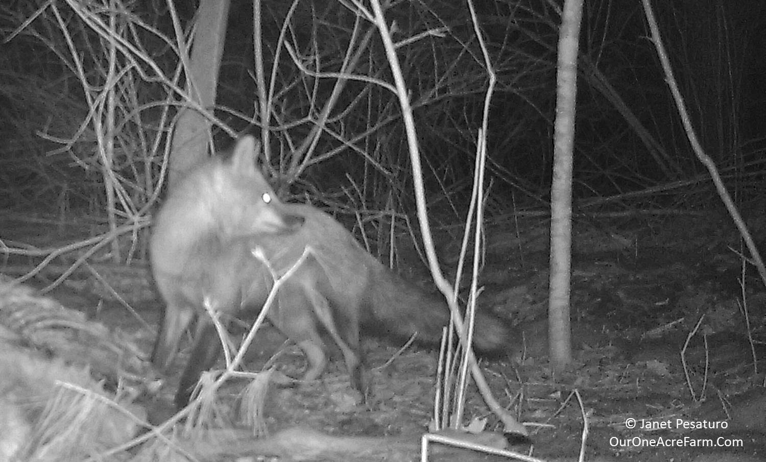 10 Myths About Wild Predators (with photos from my trail cam)