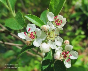 10 Shrubs for a Wildlife-Friendly, Edible Landscape