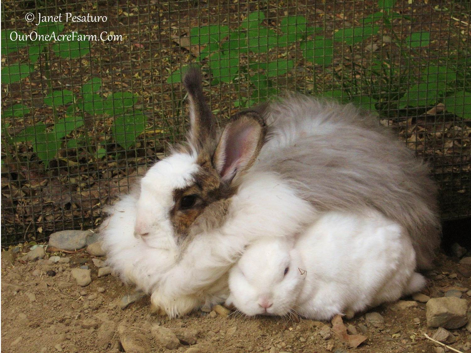 Backyard Farming Animals : We had these 2 rabbits for years I had the fur from the angora rabbit