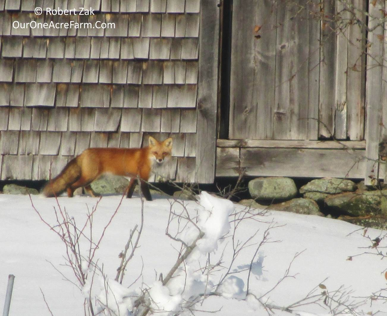 tracking red fox in winter