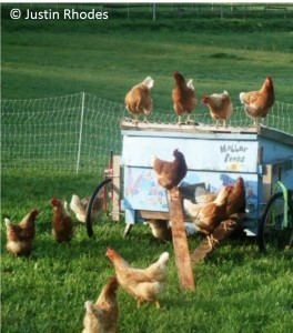 Sustainable chicken farming