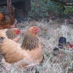 Predator proofing your chicken coop