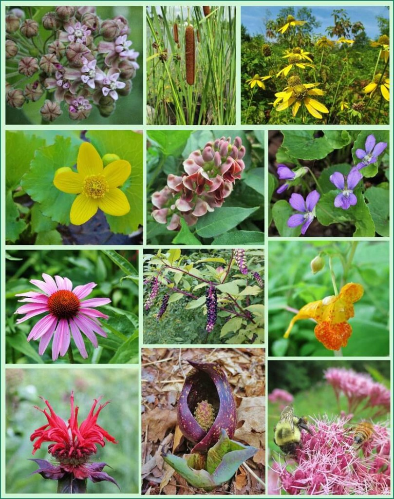 Native plants for food and medicine, great for eco-friendly garden