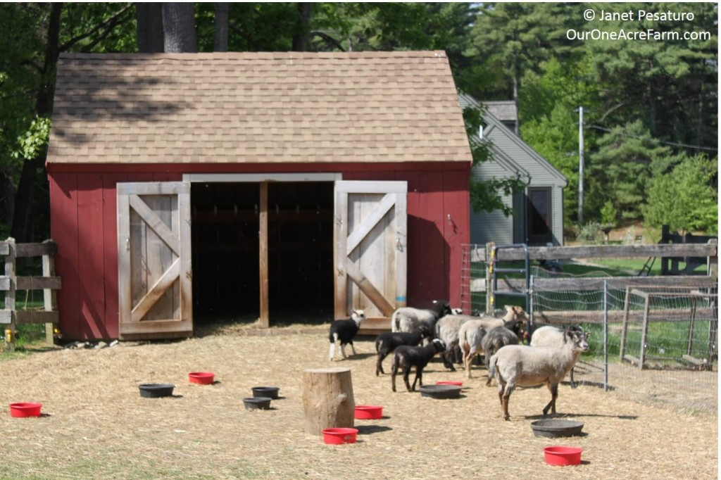 Raising Shetland Sheep is a guide to getting started with this easy care, small breed of sheep, suitable for a small farm. Breed profile, what you need, feeding, lambing, general health maintenance, protection from predators, and making money. Fleeces come in a wide range of natural colors and are popular among hand spinners. Meat is delicate; milking is possible.