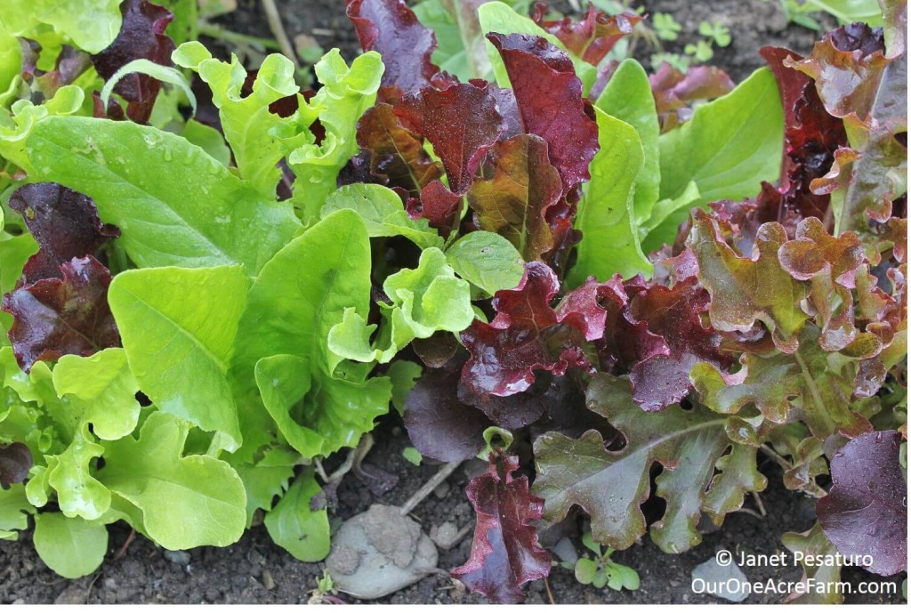 Growing and Using Greens covers lettuce family, mustard family (mustard greens, kale, collards, turnip, arugula, etc.), and beet family (beets, chard, spinach), for mesclun salad mixes and cooked greens. Permaculture principles like species diversity, inter-planting, and succession planting maximize yield and nutrition, and prevent pest problems. Transplanting, direct seeding, harvesting, and using.