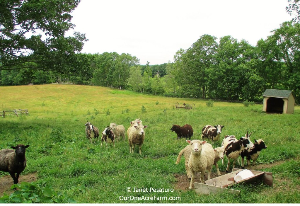 Deciding what to raise on your homestead or backyard farm involves taking inventory of your resources and yourself. This guides you through 15 critical considerations, such as climate, soil, existing ecosystems, lay of the land, storage space, market research, what you like to eat,  and your own ability to deal with livestock illness, injury, and death.