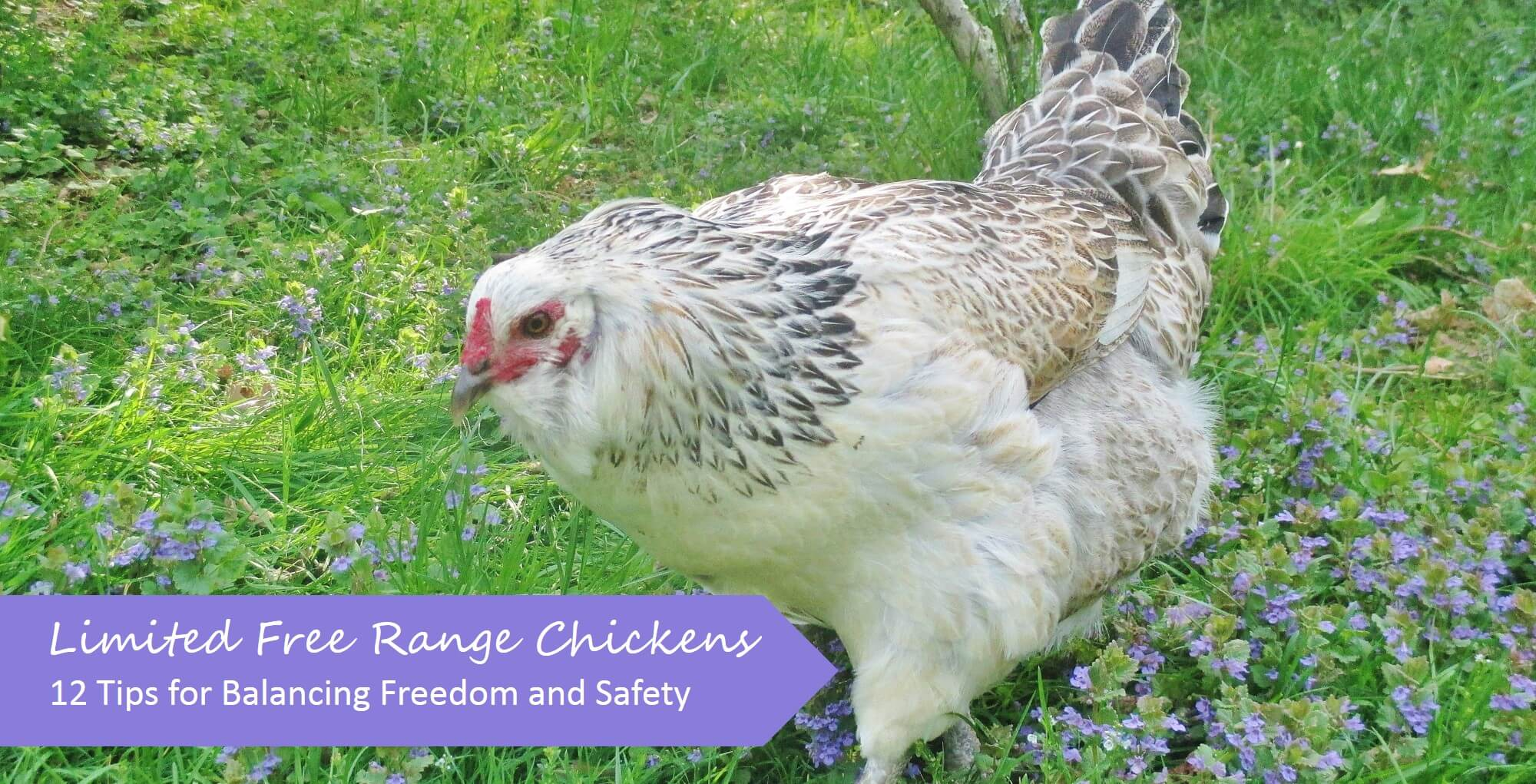 limited free range chickens 12 tips to balance freedom u0026 safety