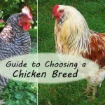 Want backyard chickens for eggs? Meat? Beauty? Calm companionship? For a cold climate? For a hot climate? For children? For showing? How about the best breeds are for a very small space? Here's a great guide to chicken breeds to help you choose just the right breeds for your needs.