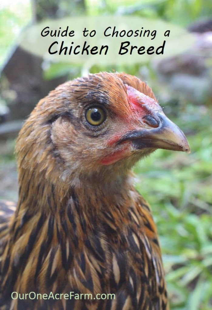 Want backyard chickens for eggs? Meat? Beauty? Calm companionship? For a cold climate? For a hot climate? For children? For showing? How about the best breeds are for a very small space? Here's a great guide to choosing chicken breeds to help you choose just the right breeds for your needs.