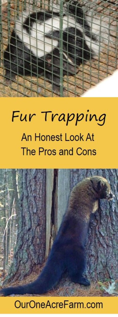 Is fur trapping good or bad, or something in between? Types of traps, humaneness, livestock protection, impact on wildlife populations and disease, trapper education, laws, & monitoring, & non-target captures are discussed here. This honest article profiles of 2 trappers and 1 animal rights activist, and reviews research studies. It's complicated & you need to decide for yourself what the truth about trapping is before embracing it as supplemental income for your homestead, or before embarking on an anti-trapping campaign.