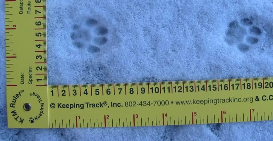 Tracking bobcats in massachusetts for House of tracks